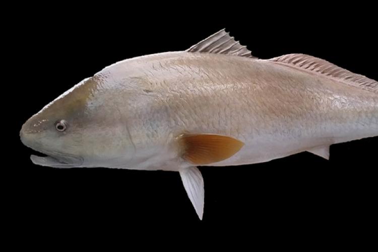 Redfish & Snook