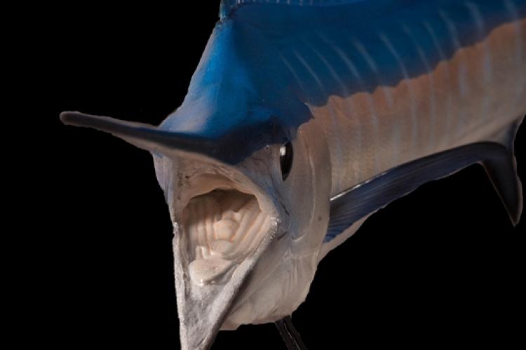 Sailfish & Marlin